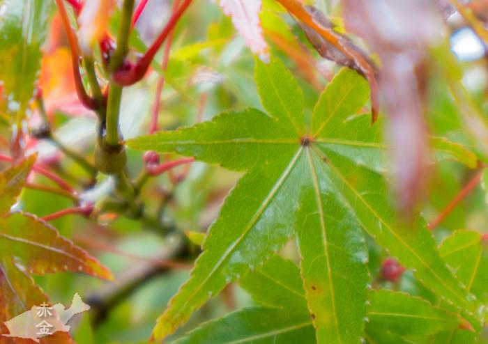 後ろの小枝の赤と紅葉の緑の対比