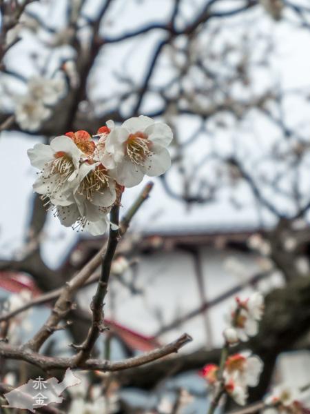 訪れたのは3月初旬。梅が咲いていました。