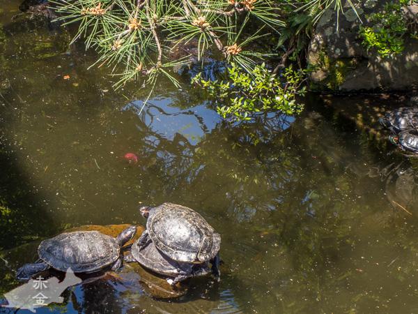 池の上で折り重なって日向ぼっこをするカメ
