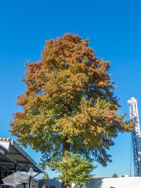 これも西武秩父駅前にある大きな木。後ろのクレーンは、例の複合温泉施設のためにボーリングしている