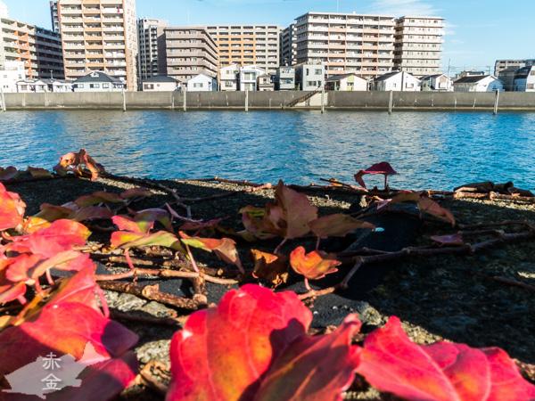 旧江戸川の向こう岸は千葉県浦安市です