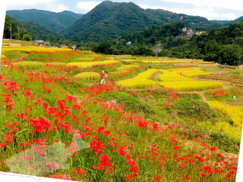 寺坂棚田。秋にはこんな風景